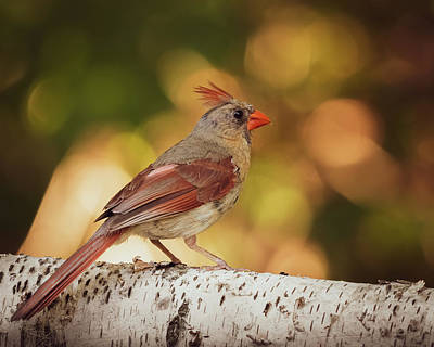 Photograph - Female Northern Red Cardinal by Bob Orsillo