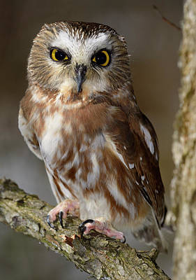 Animal Photograph - Female Northern Saw Whet Owl Perched On A Tree Branch In A Fores by Reimar Gaertner