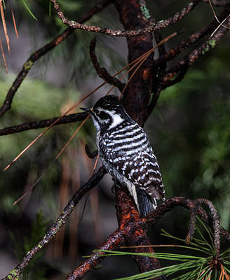 Photograph - Female Nuttall's Woodpecker by Kathleen Bishop