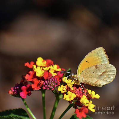 Photograph - Female Orange Sulphur by Skip Willits