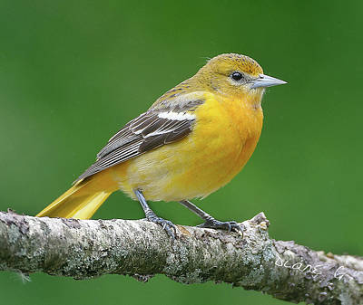 Photograph - Female Oriole by Diane Giurco