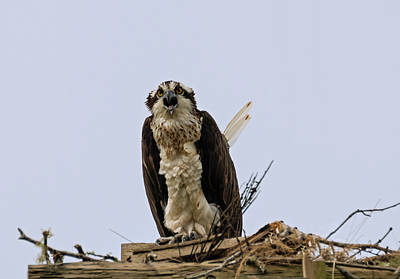 Photograph - Female Osprey Complaining by Loree Johnson