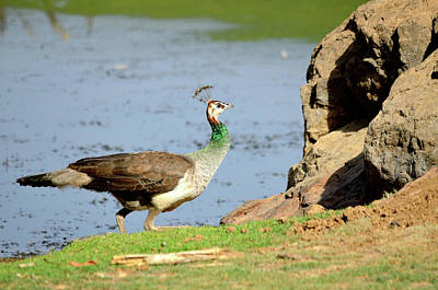 Photograph - Female Peacock by Manjot Singh Sachdeva