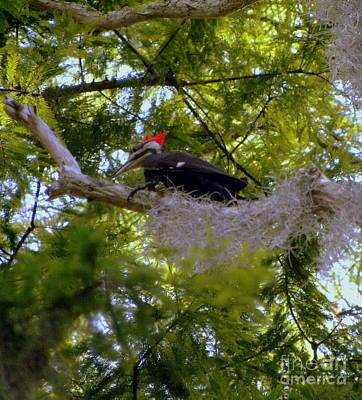 Photograph - Female Pileated Woodpecker by Terri Mills