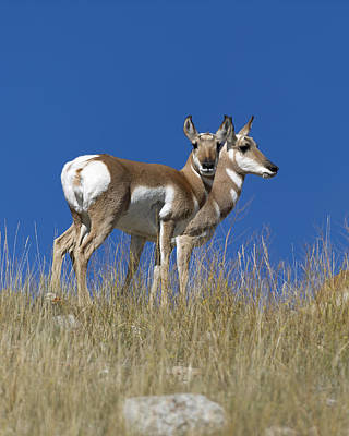 Antelope Photograph - Female Pronghorn Antelope by Gary Langley
