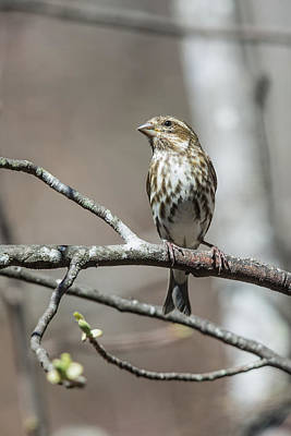 Photograph - Female Purple Finch by John Haldane