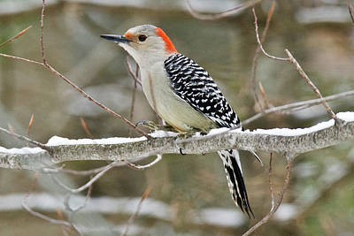 Photograph - Female Red-bellied Woodpecker 6516 by Michael Peychich