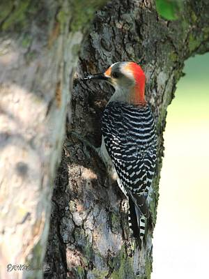 Photograph - Female Red-bellied Woodpecker by J McCombie