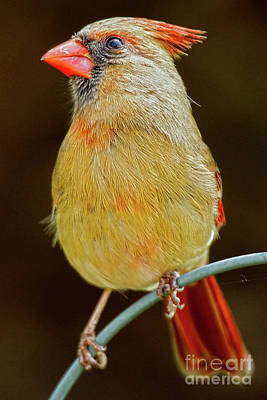 Female Red Cardinal #1 Art Print by Alan Look