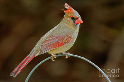 Female Red Cardinal #3 Art Print by Alan Look