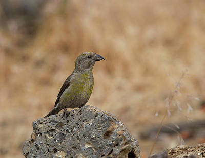 Photograph - Female Red Crossbill by Doug Lloyd