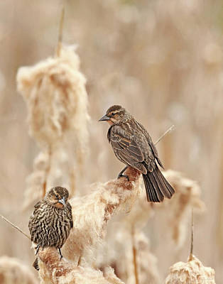 Photograph - Female Red-wing Blackbirds by Jennie Marie Schell