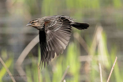 Photograph - Female Red Winged Blackbird Above The Marsh.... by Paul Vitko