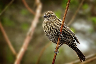 Photograph - Female Red Winged Blackbird by Inge Riis McDonald