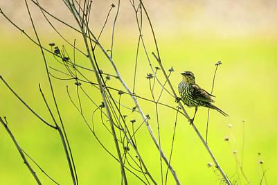 Photograph - Female Red Winged Blackbird by Joni Eskridge