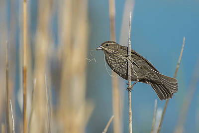 Photograph - Female Red Winged Blackbird by Rick Mosher