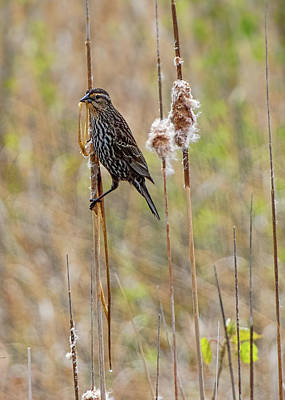 Photograph - Female Red-winged Blackbird by Ron Grafe