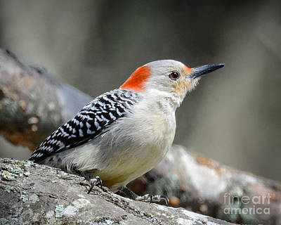 Photograph - Female Redbellied Woodpecker by Amy Porter