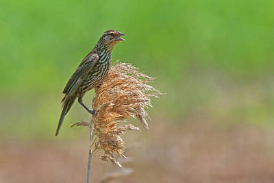 Photograph - Female Redwinged Blackbird by David Freuthal