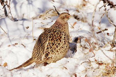 Photograph - Female Ring Necked Pheasant by Alyce Taylor