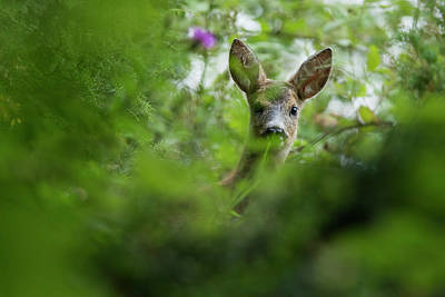 Photograph - Female Roe Deer Portrait by Mircea Costina Photography