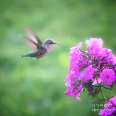 Photograph - Female Ruby Throated Hummingbird by Silken Photography