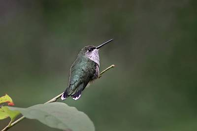 Photograph - female Ruby Throated Hummingbird by William Tanneberger
