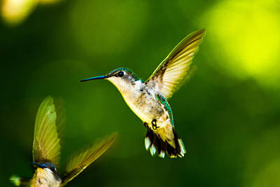 Photograph - Female Ruby Throated Hummingbirds In Flight by Barry Jones