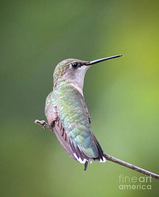 Photograph - Female Rubythroated Hummingbird by Amy Porter