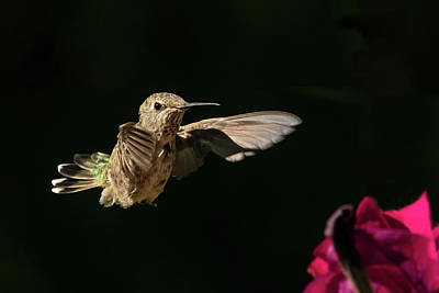 Photograph - Female Rufous Hummingbird by Inge Riis McDonald