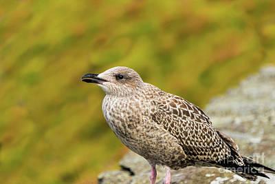 Photograph - Female Seagull by Elvis Vaughn
