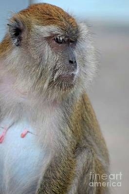 Photograph - Female Seated Long Tailed Macaque Monkey Intently Stares  by Imran Ahmed