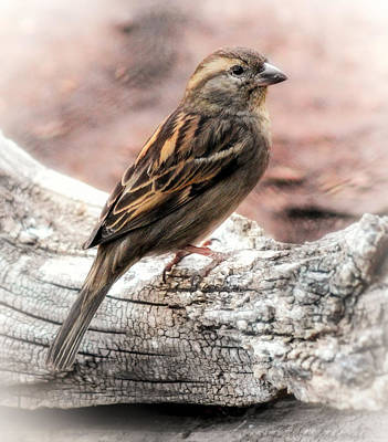 Female Sparrow Art Print