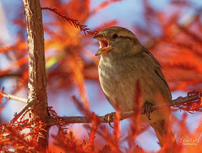 Photograph - Female Sparrow Singing, Montreux, Switzerland by Elenarts - Elena Duvernay photo