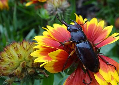 Female Stag Beetle Art Print