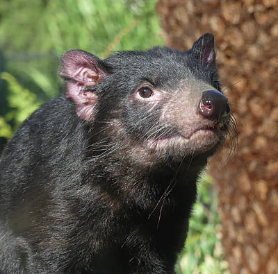 Photograph - Female Tasmanian Devil by Margaret Saheed