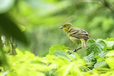 Photograph - Female Western Tanager by Belinda Greb