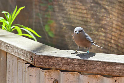 Photograph - Female White-browed Woodswallow by Miroslava Jurcik