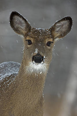 White Tail Deer Photograph - Female White-tailed Deer, Odocoileus by John Cancalosi