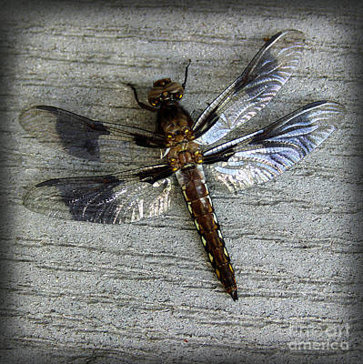 Photograph - Female Whitetail Skimmer Dragonfly by Karen Adams