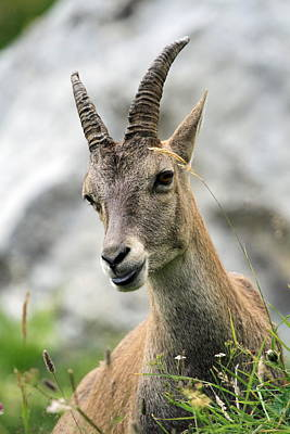 Photograph - Female Wild Alpine Ibex - Steinbock Portrait by Elenarts - Elena Duvernay photo