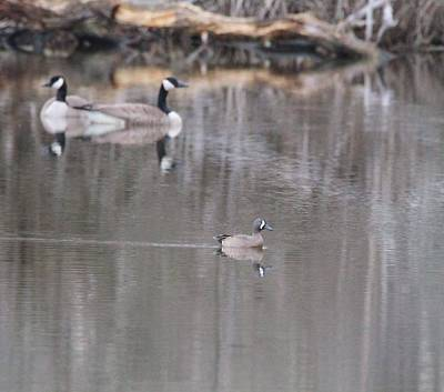 Photograph - Female Wood Duck And Canada Geese by Dan Sproul