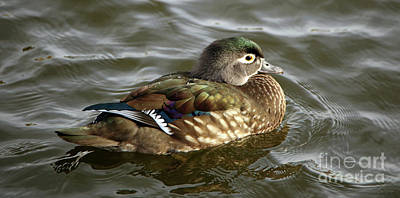 Photograph - Female Wood Duck by Elizabeth Winter
