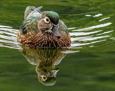 Photograph - Female Wood Duck by Jean Noren