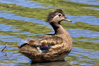Photograph - Female Wood Duck by Kathleen Bishop