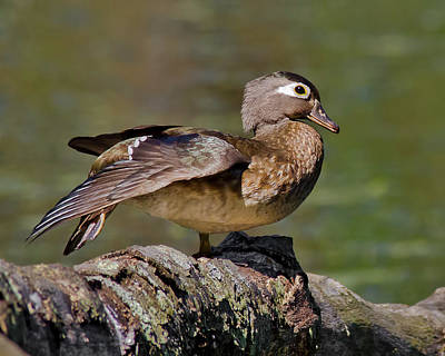 Wood Duck Profile Photograph - Female Wood Duck Perched by Morris Finkelstein