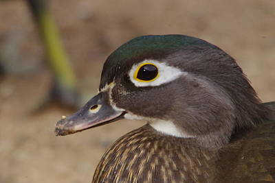 Fowl. Wildlife Photograph - Female Wood Duck Up Close by Jeff Swan