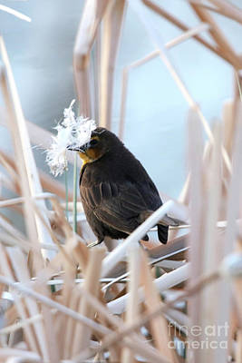Photograph - Female Yellow Headed Blackbird by Alyce Taylor
