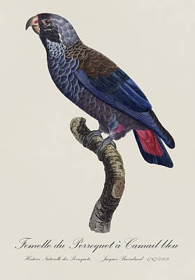 Parrot Photograph - Femelle Du Perroquet A Camail Bleu / Dusky Parrot - Restored 19thc.parrot Illustration By Barraband by Jose Elias - Sofia Pereira