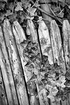 Photograph - Fence And Ivy by Cate Franklyn